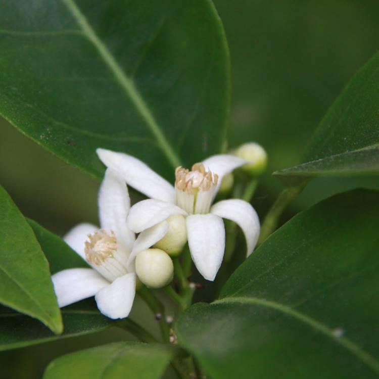 Bergamot flowers