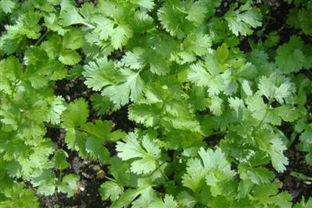 Coriander Leaf Materia Aromatica